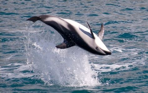 Private tours viewing dolphins at Akaroa & whales at