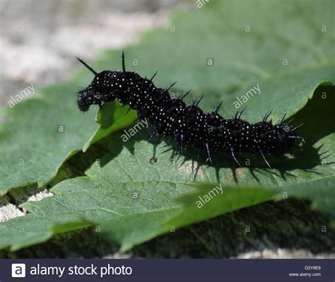 Black and spiky caterpillar of the colourful Common